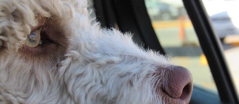 CBCC dog in car